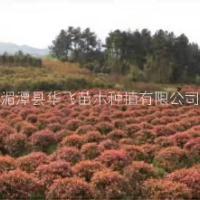 贵阳市红叶石楠价格-毕节哪里有火焰红种植基地-各种规格树苗