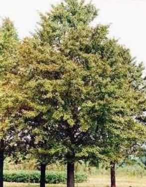 银杏木苗直销  绿化银杏树苗木供应
