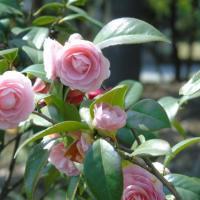 批发各种规格茶花树-衡阳市山茶花种植基地-大量批发各种苗木