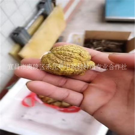 金果榄地苦胆青牛胆种子种苗
