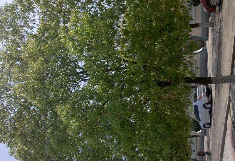 江西香樟15公分种植1,2,3,4,5,6,7公分种植批发【九江华涛园艺有限公司】