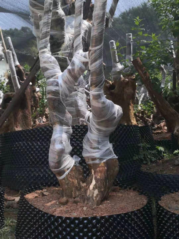 紫红桩批发专业栽培紫红桩盆景 紫薇桩头批发价格 紫薇老桩报价
