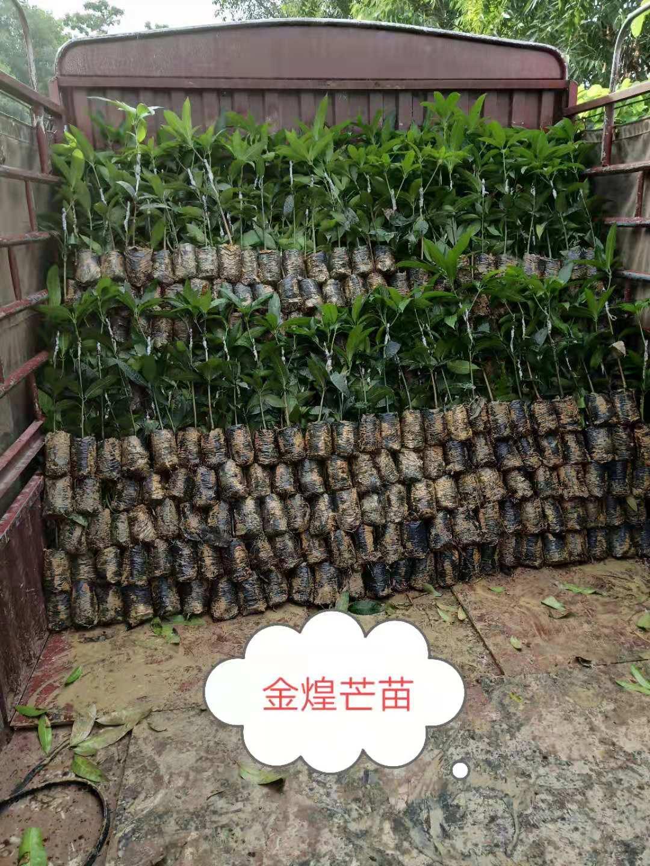 长期供应优质芒果金煌芒果苗