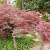 奉化区羽毛枫种植基地 羽毛枫树产地直销 羽毛枫价格