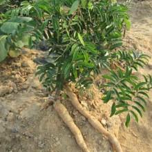 供应广西牛大力苗与山豆根苗种子种苗基地 玉林牛大力种子山豆根种子批发批发