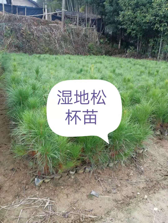 湿地松杯苗基地,价格,批发价