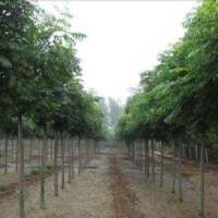 宁波栾树苗木种植批发基地销售价格