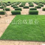 廣州南沙半細葉結縷草皮草卷種植基地直銷價格