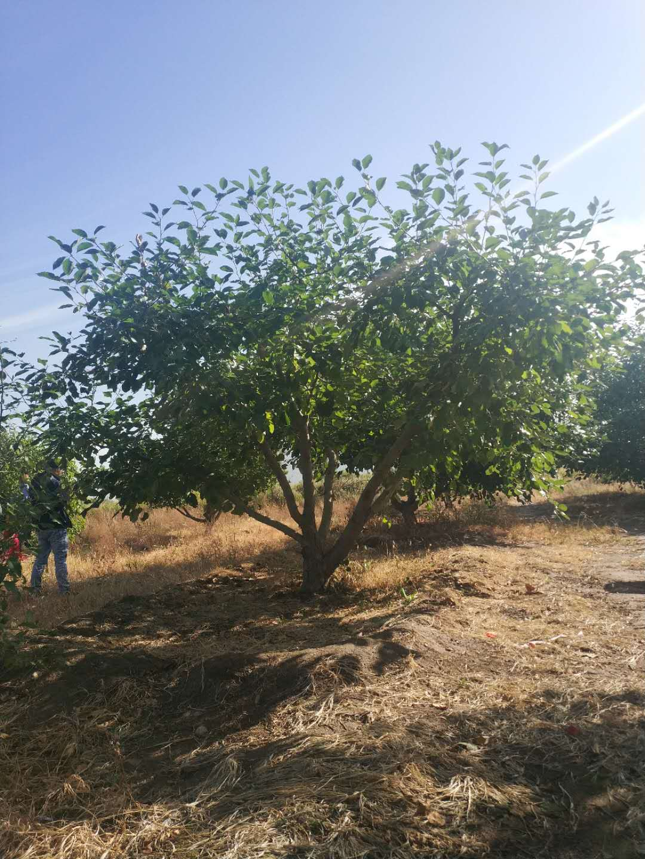 垂丝海棠种植基地、供应商、报价