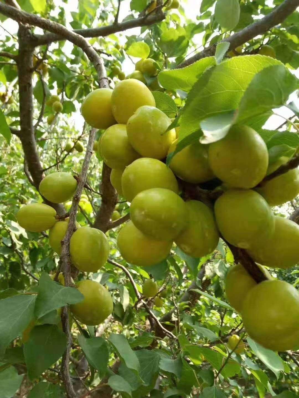 山东泰安珍珠油杏基地,批发,价格,多少钱,哪里有卖,泰安珍珠油杏价格
