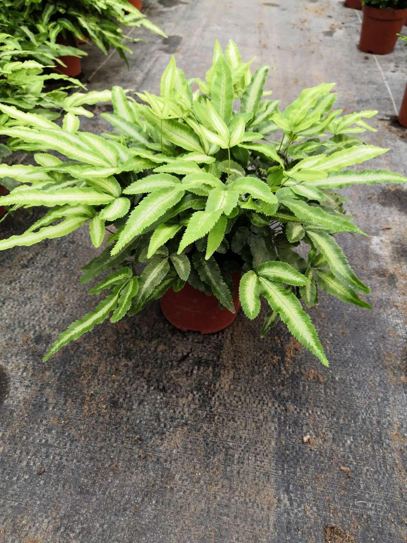精选园林绿化阿波线蕨小盆栽 防辐射阿波线蕨盆栽 室内绿化易养净化空气阿波线蕨