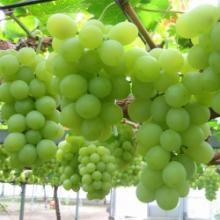 大量出售葡萄苗 葡萄烂果防治方法图片