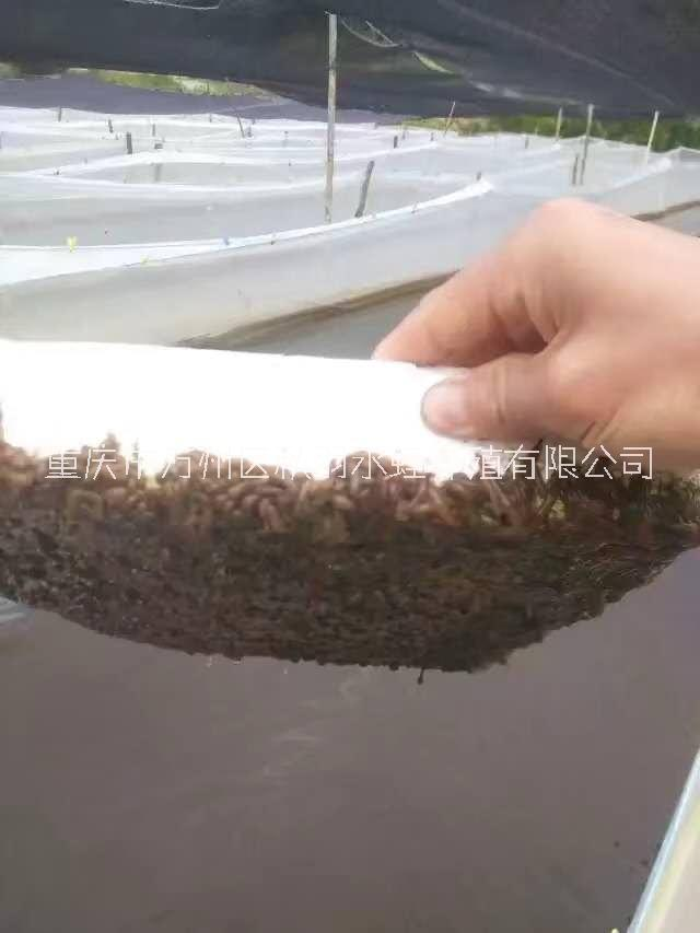 宽体金线蛭养殖价格_价钱_批发【重庆市万州区秋羽水蛭养殖有限公司】