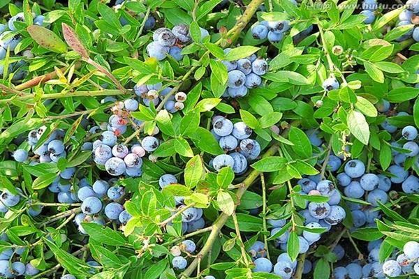 山东泰安蓝莓苗基地,2020年果苗批发,价格,哪里有卖?多少钱一颗