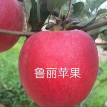 山东泰安鲁丽苹果苗基地,2020年果苗批发,价格,哪里有卖?多少钱一颗