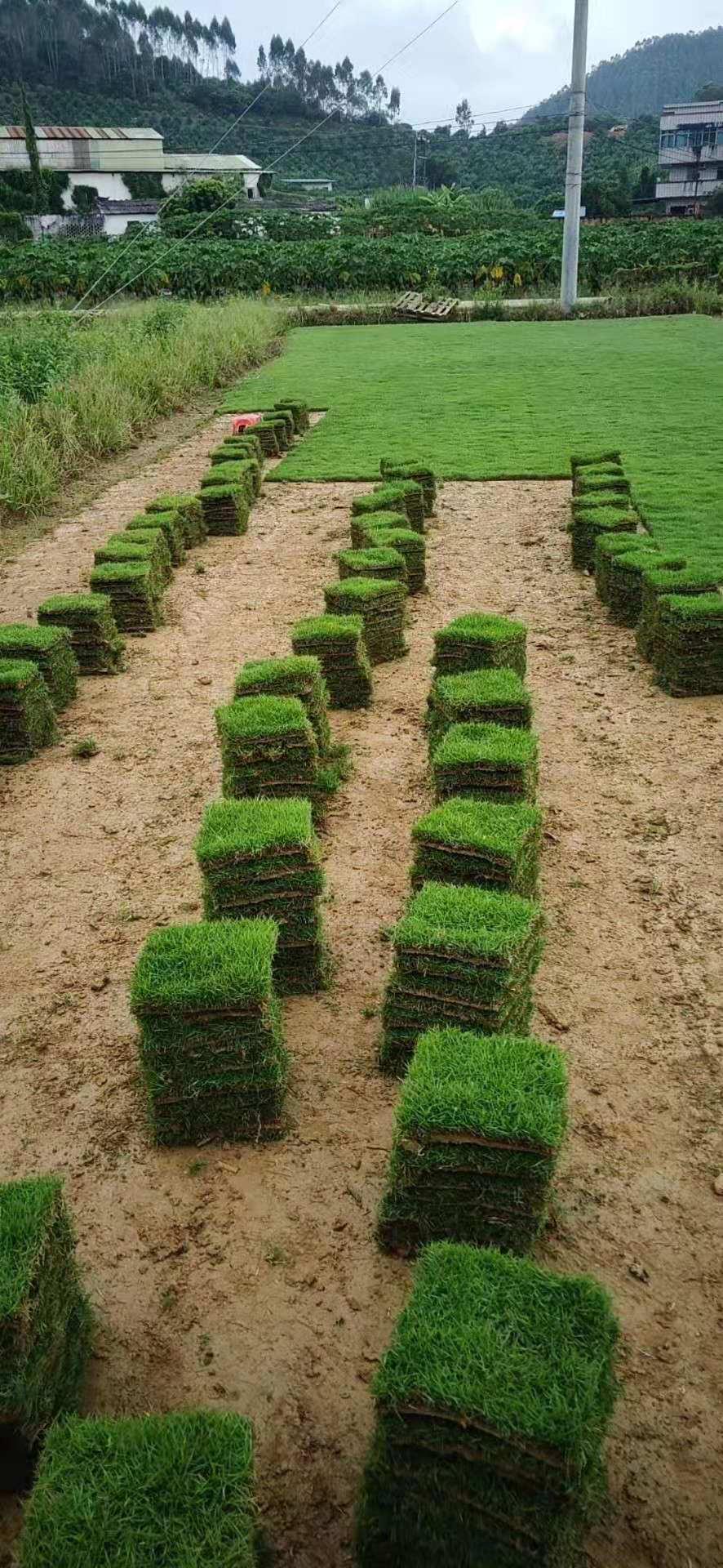 珠海台湾草基地,珠海草皮基地直销,批发,价格,哪里有卖