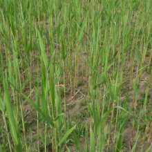 供应芦苇苗芦苇苗_优质商品价格 芦苇苗批发图片