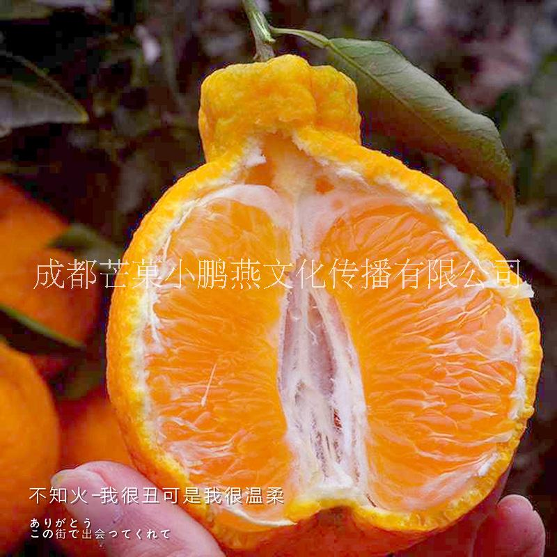 丑橘不知火 四川直发 新鲜采摘发 包邮包售后