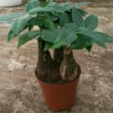 [广东湛江发财树盆栽批发]发财树盆栽 80的单杆,90的三杆有兴趣的来价格