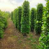 广州鸭脚木种植基地、批发价格、优质产地【严玉林(严清)花木场】