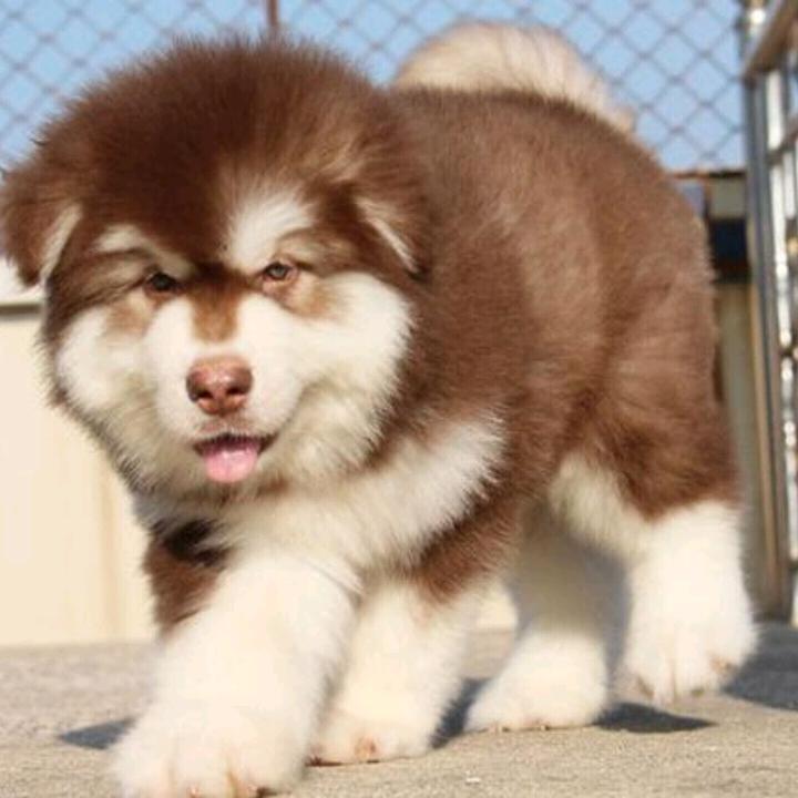 阿拉斯加 家庭宠物狗狗 纯种阿拉斯加幼犬出售