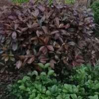 长沙红叶石楠种植基地-价格-电话-批发